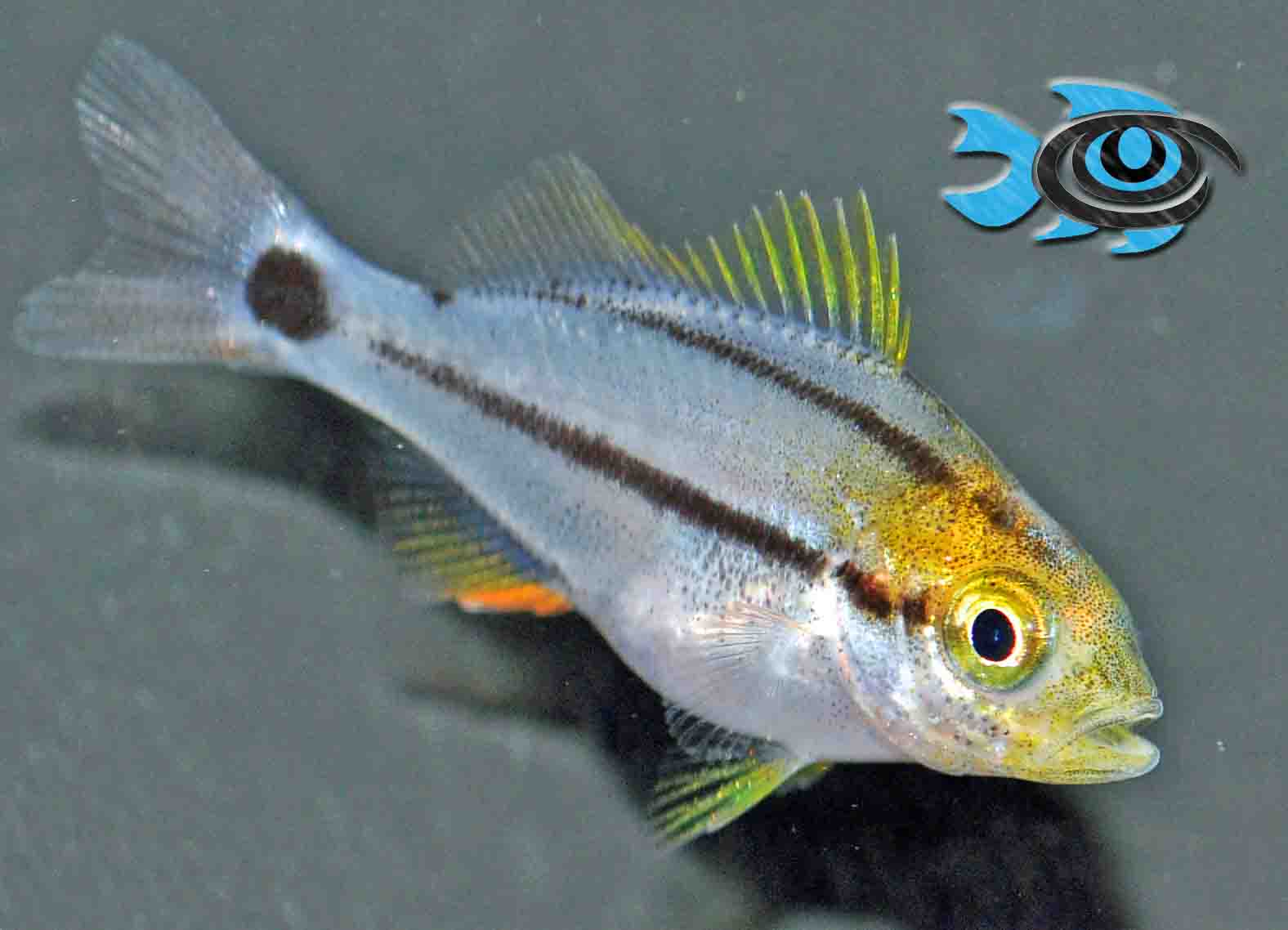 Captive-bred Porkfish from Fisheye Aquaculture bring another pelagic spawner to the commercial market.