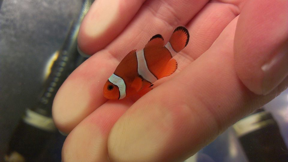 A standard 3-barred Sunset Mocha Clownfish - a hybrid back-cross bringing a different balance of parental contributions to the table.