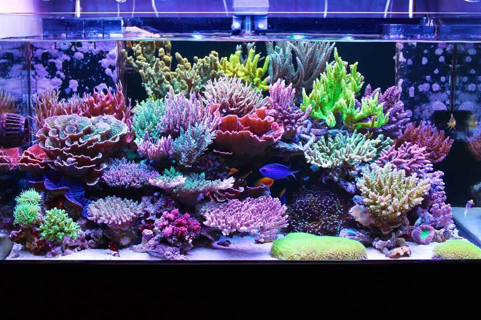 Masanao Shia S Sps Reef Tank Is