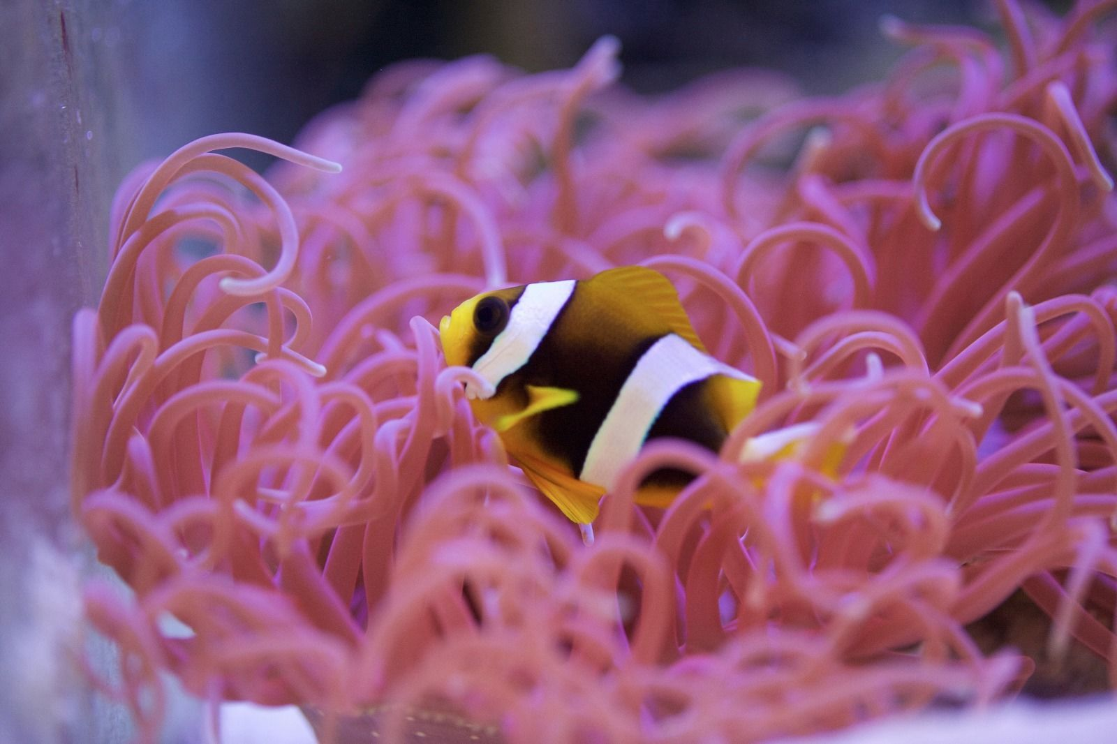 Captive-bred Amphiprion latifasciatus, the Madagascar Clownfish, offered by Ross DeAngelis.