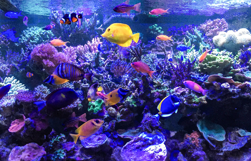 How To Remove Unwanted Fish From A Reef Tank Reef Builders The