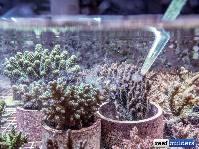 Feeding Acropora millepora