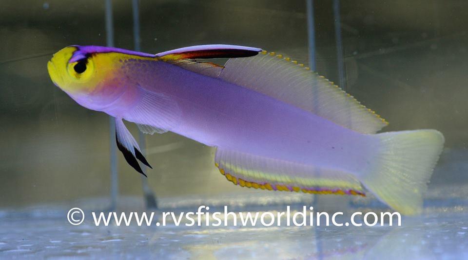 helfrich firefish philippines-4