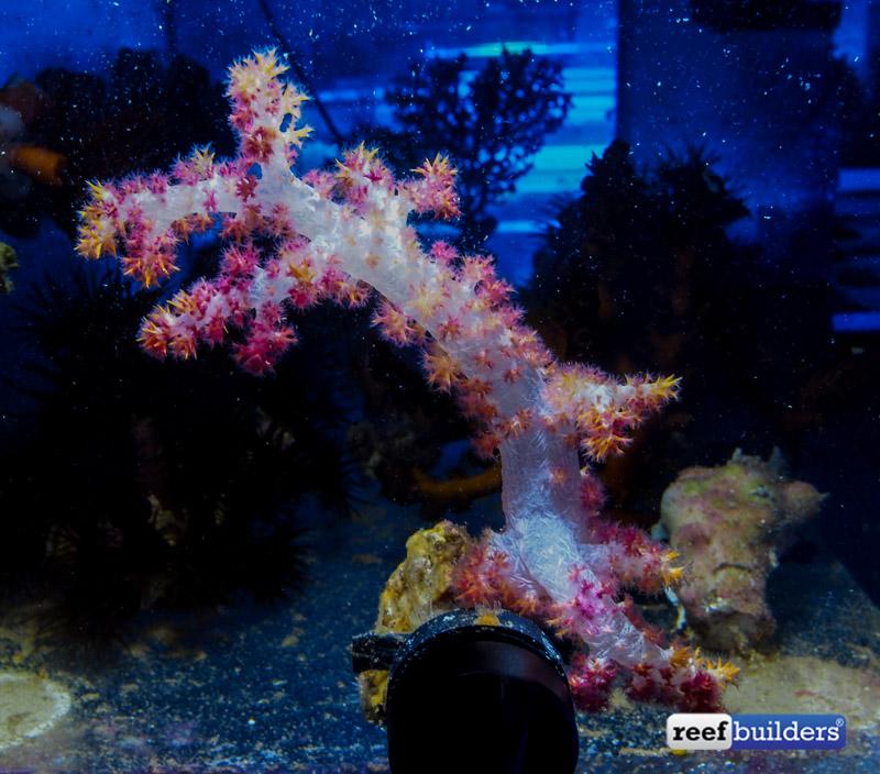 dendronephthya-carnation-coral-1.jpg