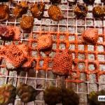 shipwreck cove corals-5