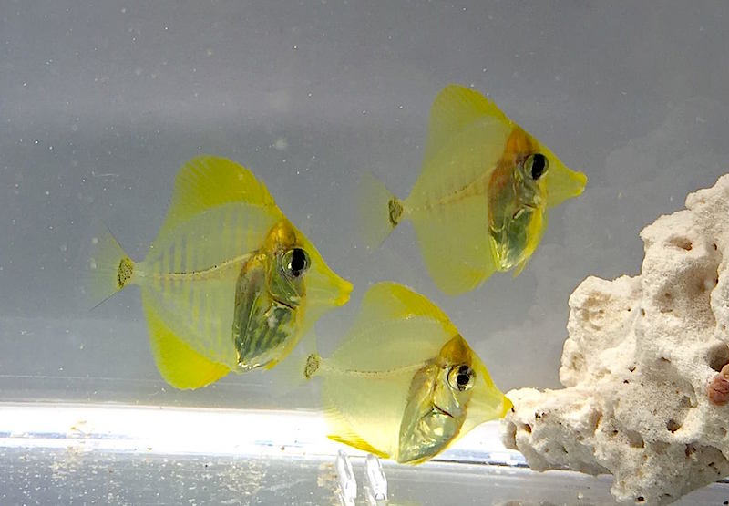 yellow tang captive-bred