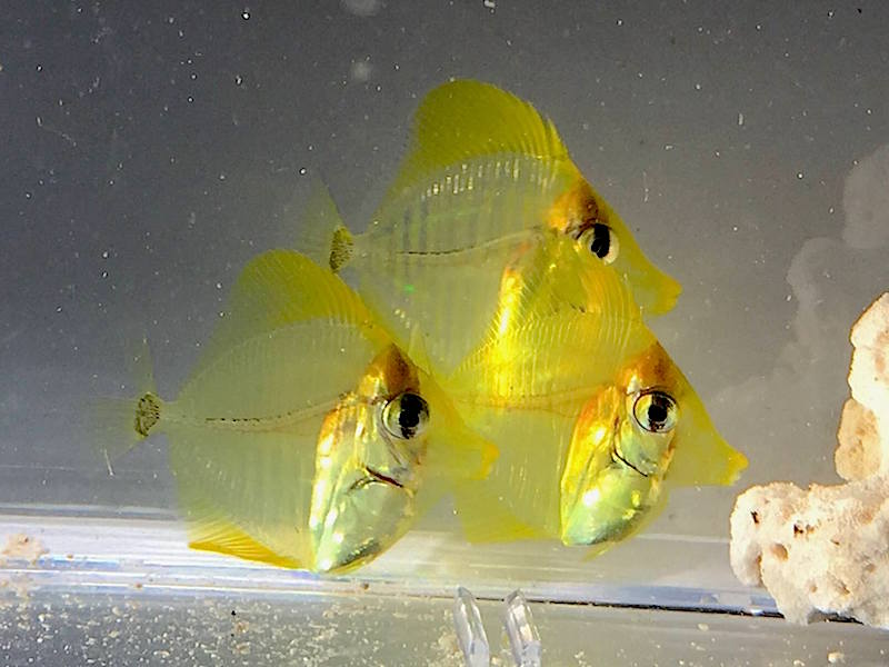 yellow tang captive bred