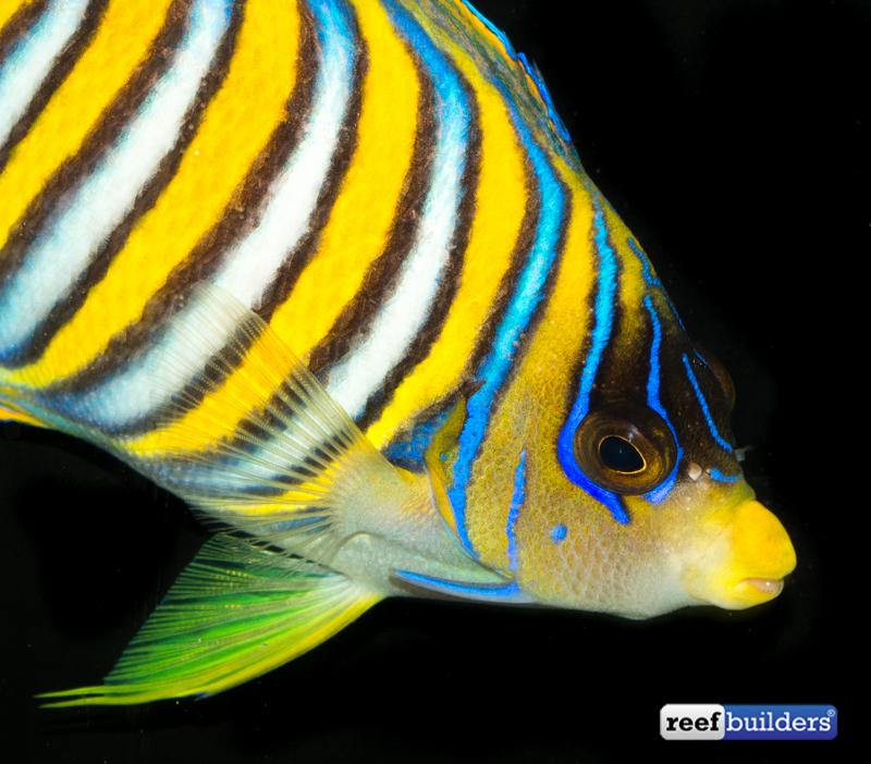 regal-angelfish-misbar-5