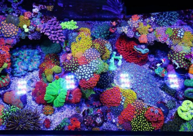 azoox corals betting