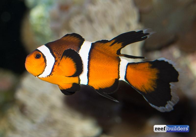 Clown Fish Concept Art