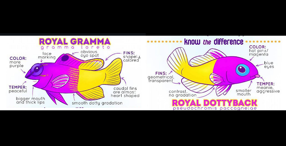 Fun Graphic Shows Difference Between A Royal Gramma And A Royal Dottyback Reef Builders The Reef And Saltwater Aquarium Blog