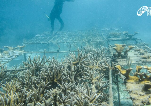 2013 nurseries at Whipray Caye (installed Earthday with Avadon Divers) — at Whipray Caye Lodge.