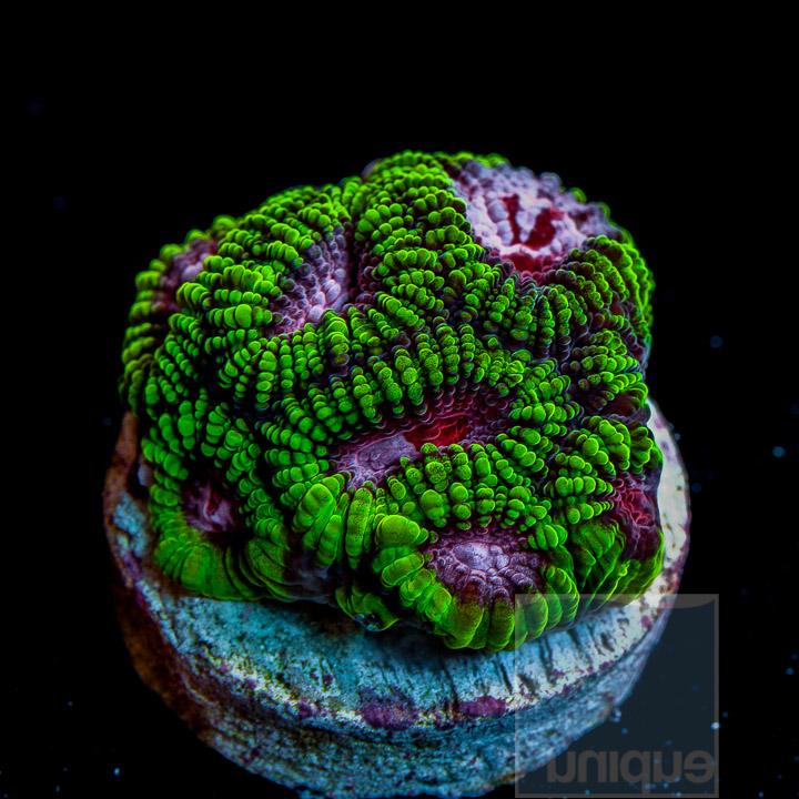 Unique Corals