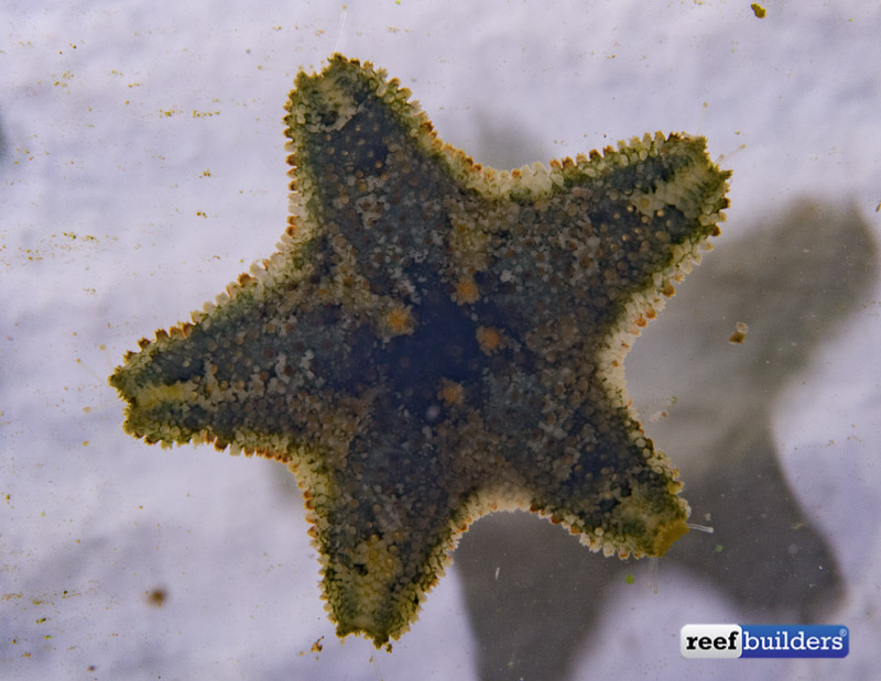 Asterina Starfish An Introduction To This Common Reef Aquarium Critter Reef Builders The Reef And Saltwater Aquarium Blog