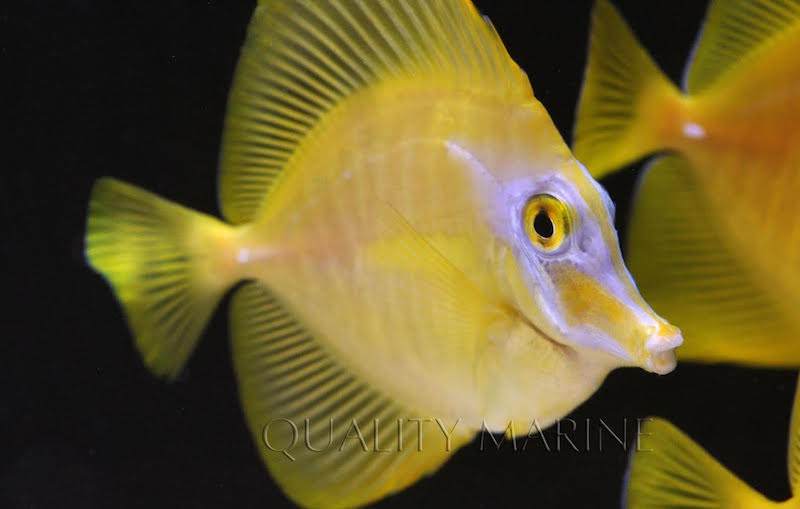 Some of the captive bred yellow tangs seem to have overcome their initial paleness