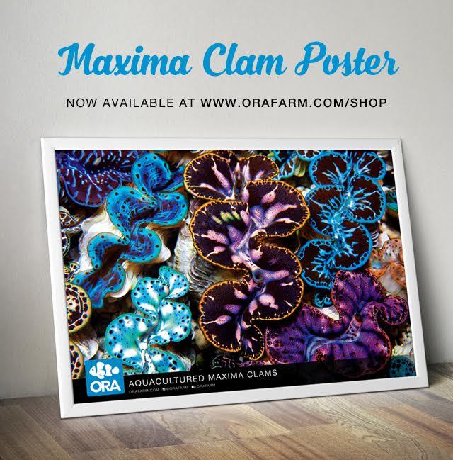ORA Maxima clam poster