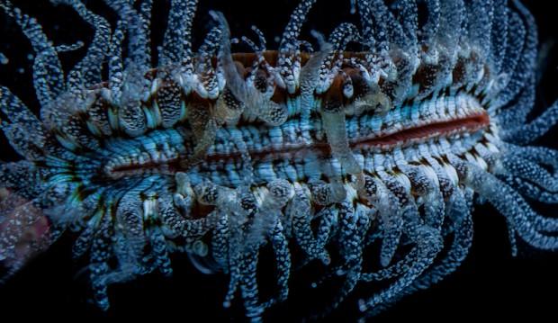 Truncatoflabellum-veroni-cropped-620x359
