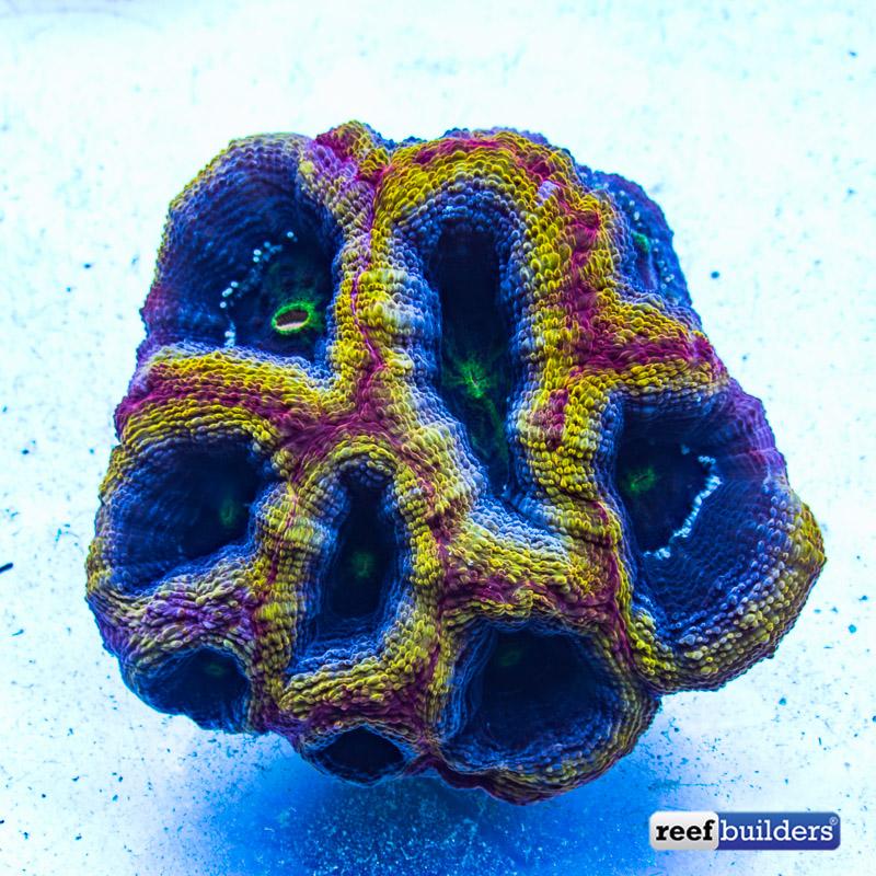 homophyllia-bowerbanki-yellow-ring-1