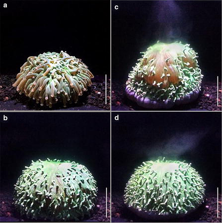 Pulsed inflation by Heliofungia actiniformis to expel algae. a Acclimated coral at 26 °C. b Inflation maximum before contraction. c Contraction and expulsion of zooxanthellae. d Even after expulsion the corals often maintain a level of inflation. Scale bar 5 cm