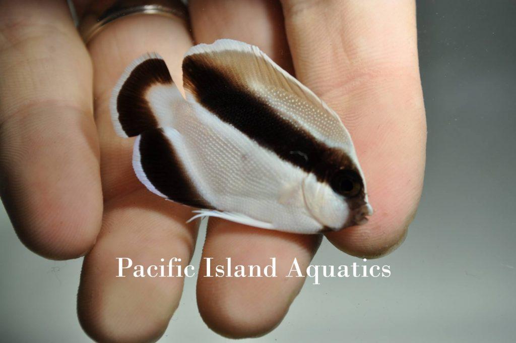 bandit-angelfish-juvenile