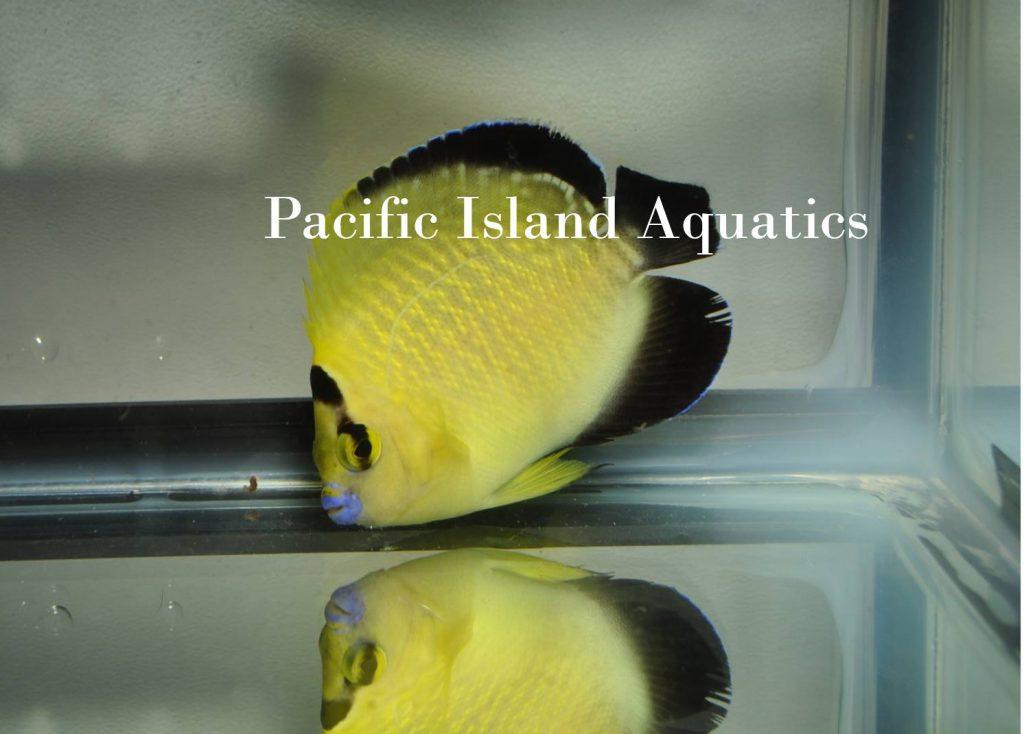 goldflake-angelfish-juvenile