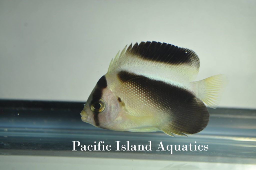 griffis-angelfish-juvenile