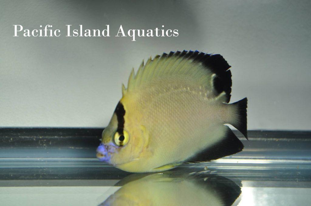 griffis-goldflake-angelfish-juvenile