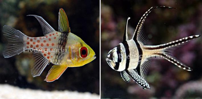 Pajama Cardinal Fish left and Banggai Cardinal (Kaudern's Cardinalfish) right. Photo: Live Aquaria