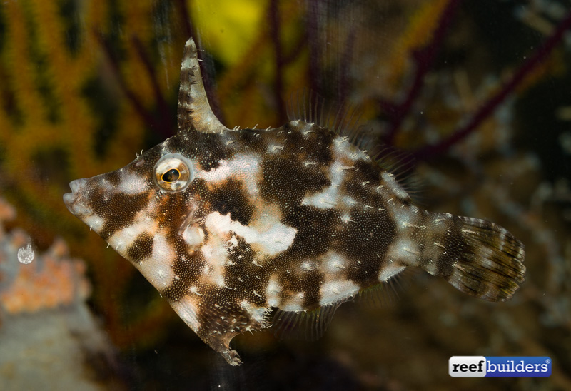bristletail-filefish