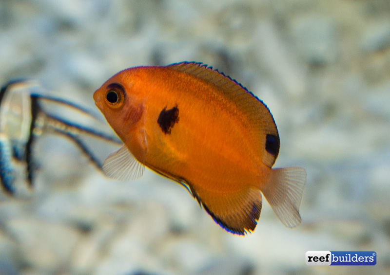 captive-bred-flame-angelfish-1