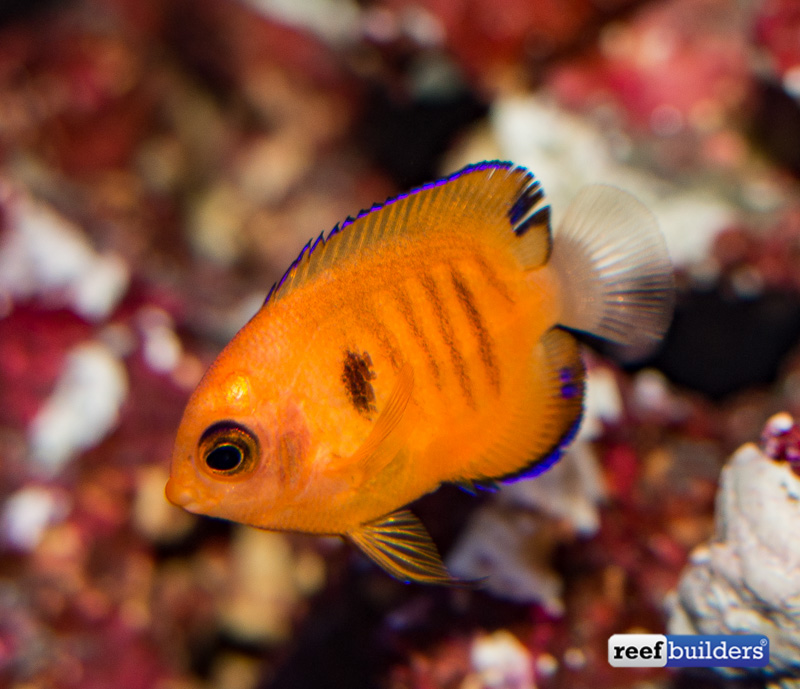 captive-bred-flame-angelfish-3