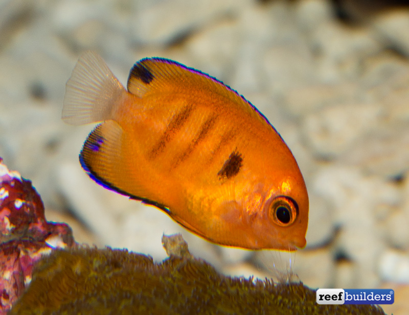 captive-bred-flame-angelfish-4
