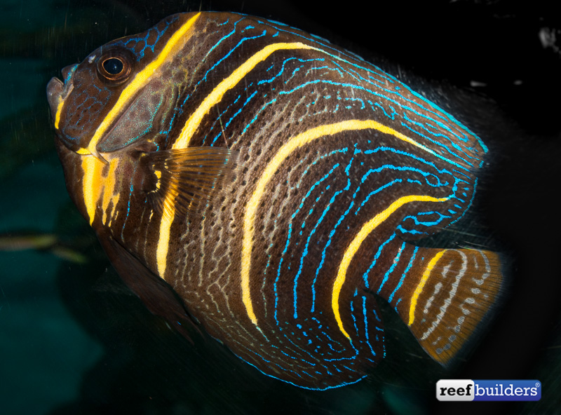 A subadult cortez angelfish showing the intermediate coloration on its way to being full grown