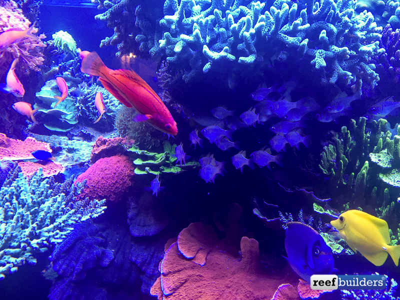 The school of glass cardinals with the biggest flasher wrasse I have seen next to them
