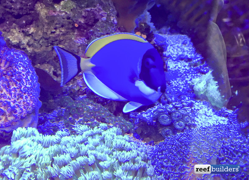 Attempt to capture how fat this powder blue tang is. Usually when you are a fish this fat you are soon cooked up for supper. Photo by Tony Rogers