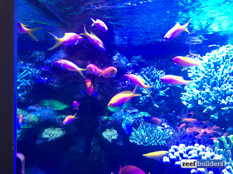 One of the schools of Anthias with a femininus wrasse in their midst