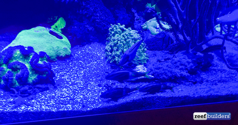 The three goat fish ready to call it a night with the fat powder blue tang above them