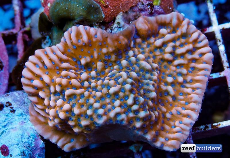 montipora-palawanensis-blue-polyp-red-1
