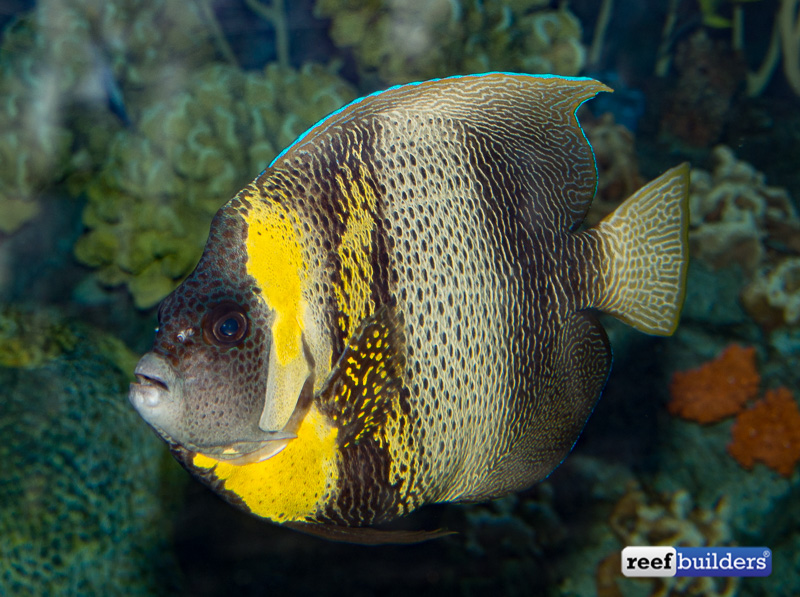 pomacanthus-zonipectus-cortez-angelfish-1