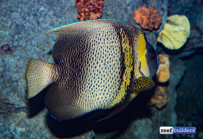 pomacanthus-zonipectus-cortez-angelfish-3