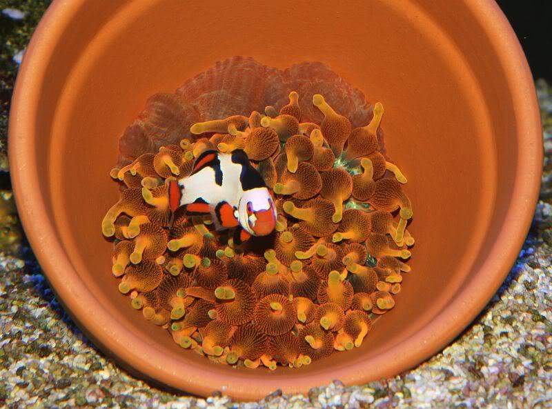 anemone-clownfish