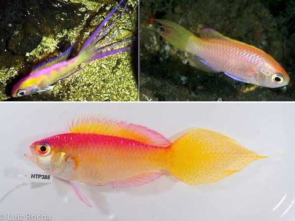 grammatonotus-species