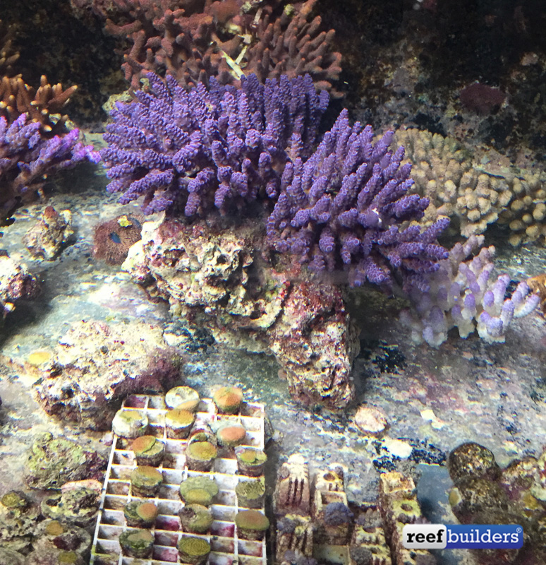 Some of the Australian corals that Jamie hopes to bring up to spawning condition n time for their next spawn