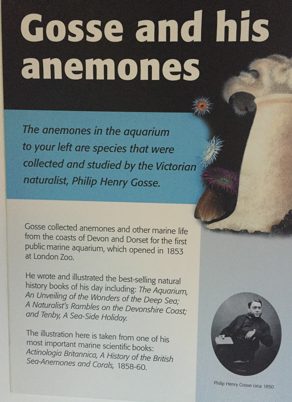 The description of the anemones that Gosse kept successfully during Victorian times