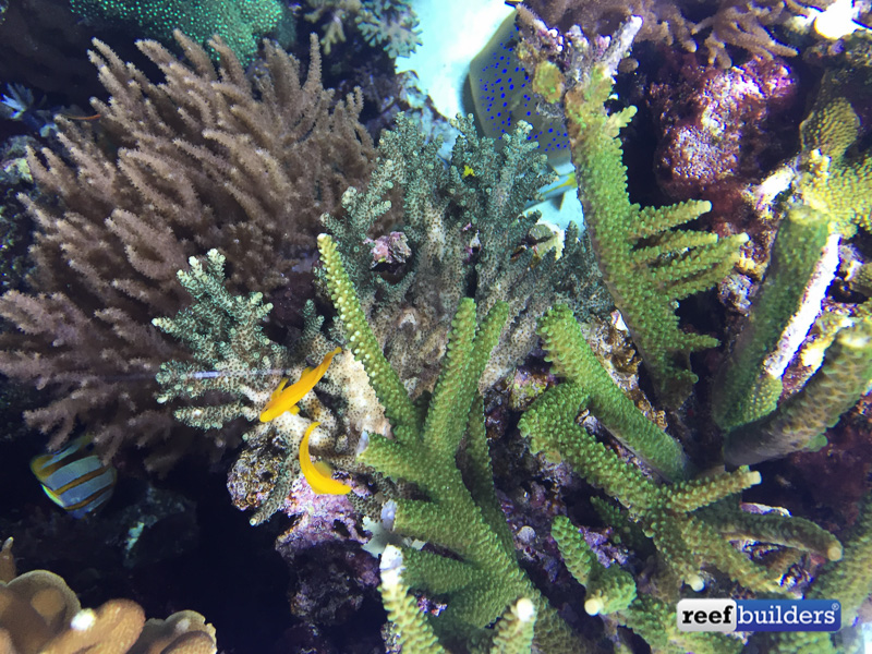 A pair of gobies and the area of Acropora they have cleared out for spawning. Corals aren't the only thing Jamie has spawning