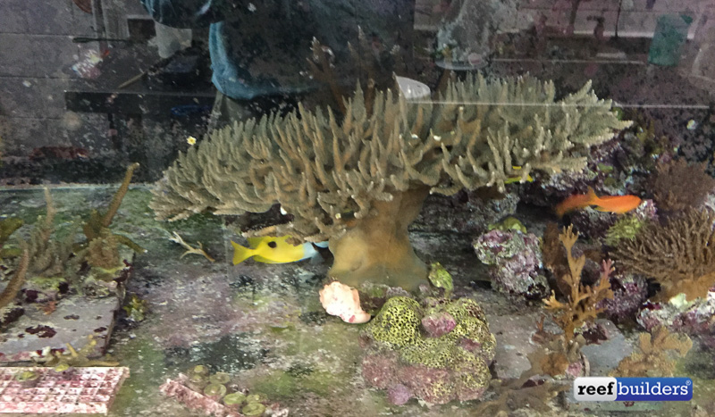 A colony of Acropora that has been grown out to a large size to optimize the likelihood of it successfully spawning