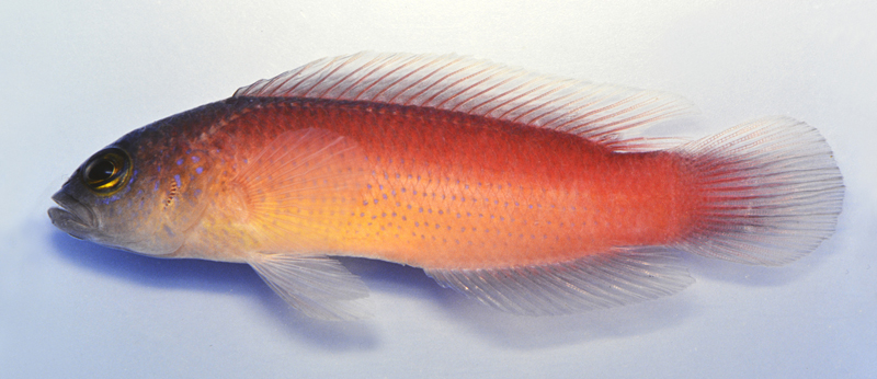 pseudochromis-yamasakii-2