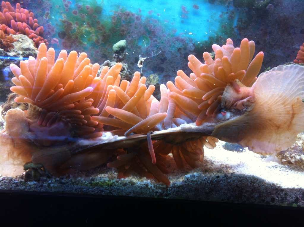 splitting-anemone