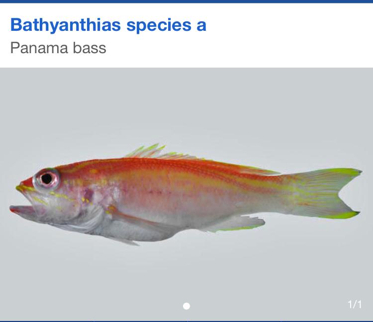 bathyanthias