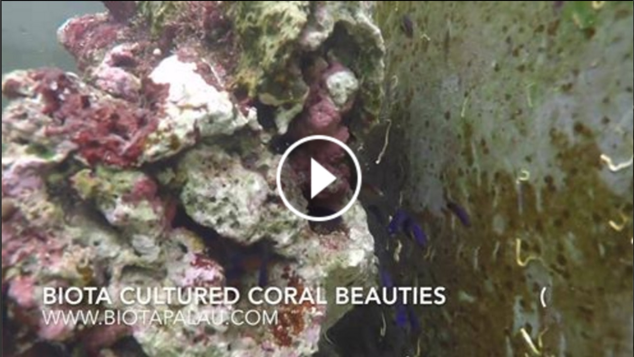 captive-bred-coral-beauty